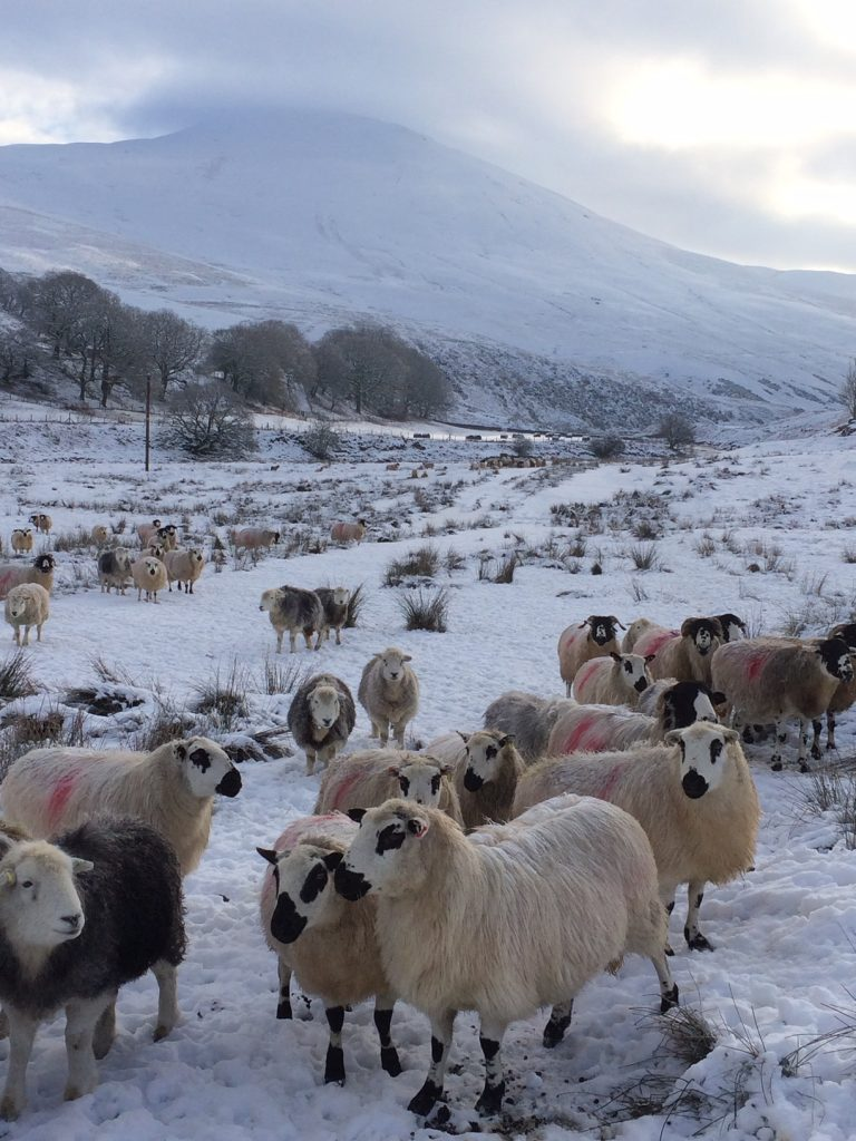 The sheep in the winter snow. Photo: Bill Robertson.